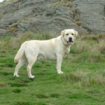 Alfie, North Berwick Law